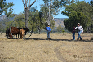 Chook Kealey (Low Stress Stckhandling) showing Christopher Mahony how to really train his weaners.