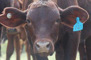 View media articles in the Rural Weekly | Gyranda Santa Gertrudis