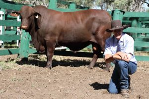 Peter Mahony, Gyranda stud, Theodore, with his top seller from last week's Gyranda Santa Gertrudis sale, the $13,000, Gyranda Namatjira N222 (P). The 938kg entry sold to Aston Price, Moura.